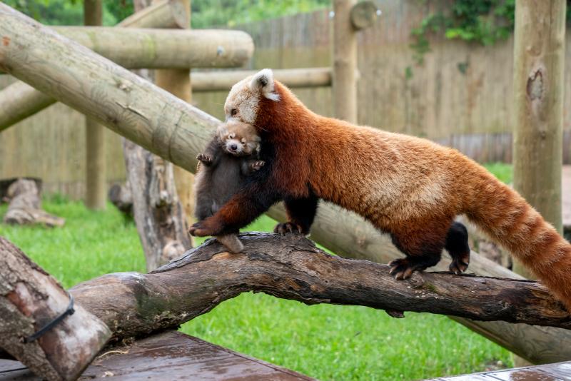 Red-panda-maiya-carrying-cub1-2