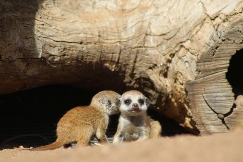 Meerkat-pups_1