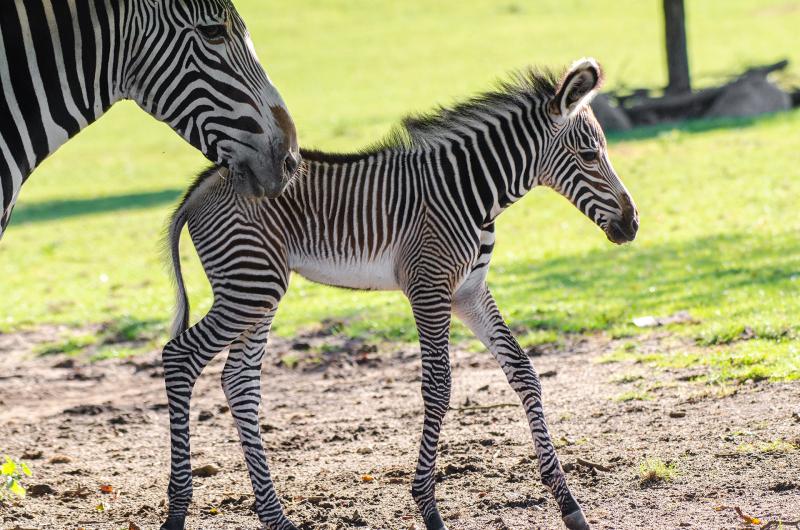 PhotosByGemma---Grevy's-zebra-foal-(3)