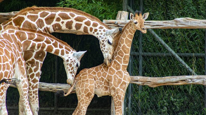 Giraffe-baby-5