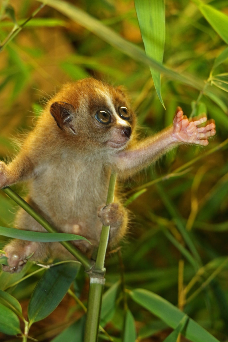 2021 0808 baby slow loris- veritical- hand out