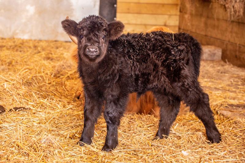 One-Week-Old-Highland-Calf-Bonnie -Noah's-Ark-Zoo-Farm---Doug-Evens