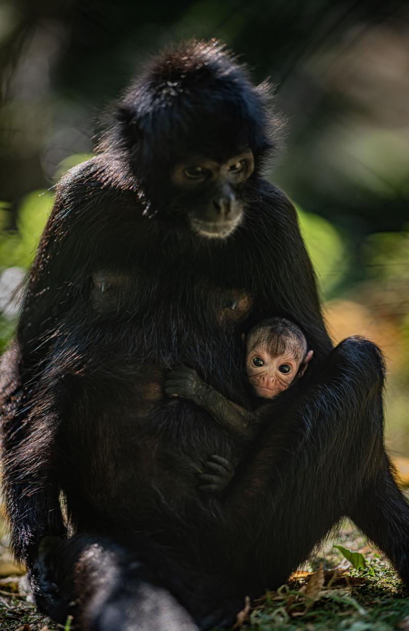 Rare spider monkey born at Chester Zoo 18