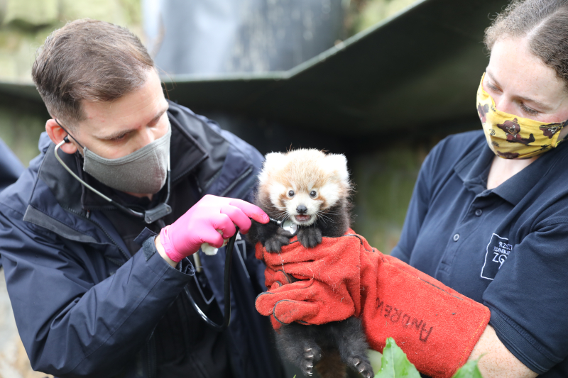 09_21_EZ red panda kit 2021 first health check_JG (2)