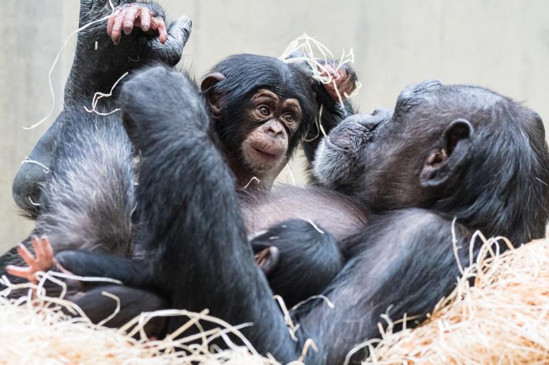 Schimpanse_kitoko_sangala_sabaki_50Z7886