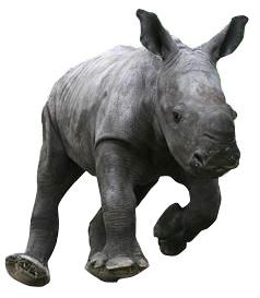 white rhino calf baby running scampering dublin zoo